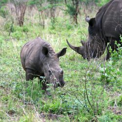 Rhinos in the Phase of Extinction, World needs to be Careful